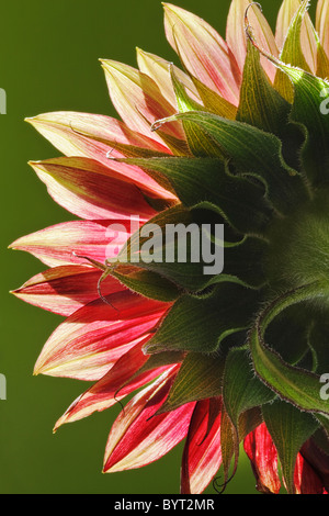 Red Sunflower back view close up - Stock Photo