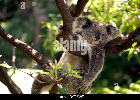 Koala Resting in a tree in Taronga Zoo, Sydney, Australia - Stock Photo