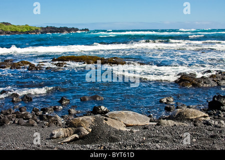 Green sea turtles on black sand beach - Stock Photo
