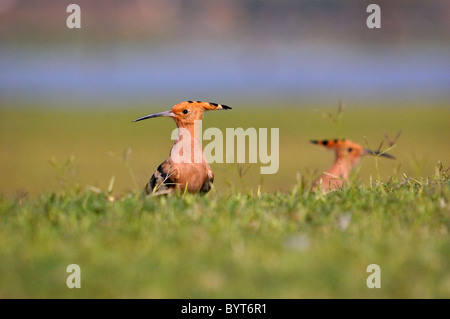 Hoopoe (Upupa epops) foraging for food on the ground, gujarat, India