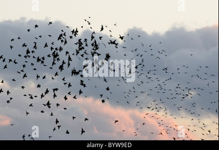 Starlings gathering to roost at Conwy RSPB reserve. - Stock Photo