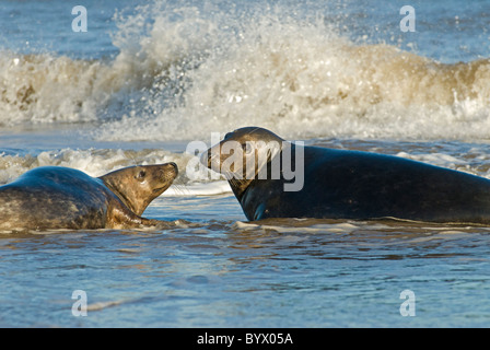 Grey Seal (Halichoerus grypus) male and female greeting in surf - Stock Photo
