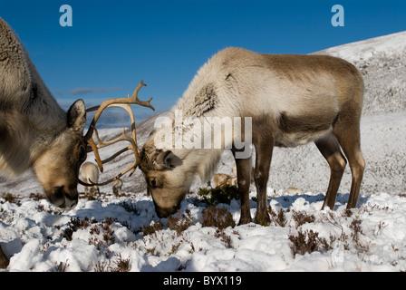 Reindeer (Rangifer tarandus), male and female, antlers locked, winter - Stock Photo