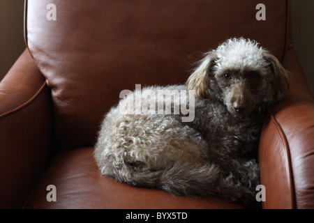 A cute dog sitting in a leather chair. - Stock Photo