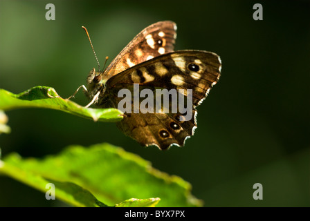 Speckled Wood Butterfly Pararge aegeria UK - Stock Photo