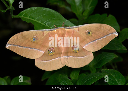 Chinese (Oak) Tussah Moth Antheraea pernyi - Stock Photo