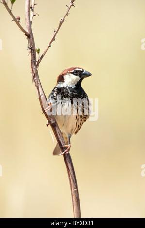 Spanish Sparrow Passer hispaniolensis Greece - Stock Photo