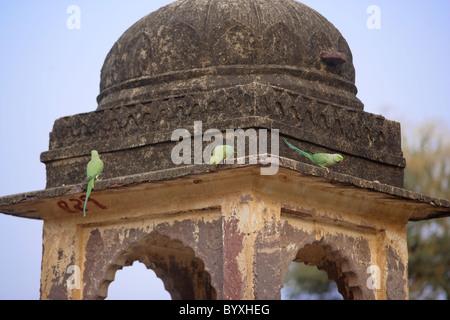 Rose Ringed Parakeets or Parrots on Ancient Ruins at Ranthambore National Park, Rajasthan India. - Stock Photo