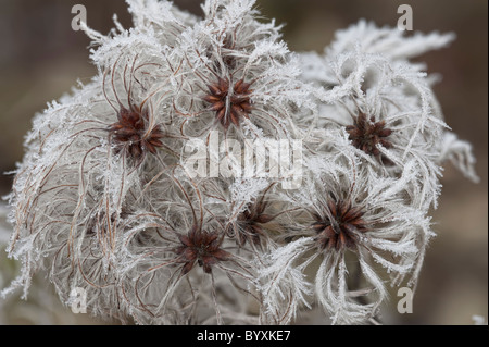 Old Man's Beard Clematis vitalba with frost - Stock Photo