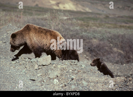 Sow and Cubs, Grizzly Bear, Denali National Park, Alaska, brown bear, grizzly bear, grizzly bears, brown bears - Stock Photo