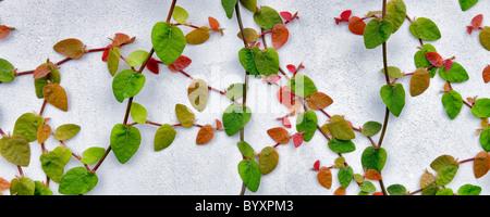 Climbing vine on white wall. Los Angeles, CA - Stock Photo