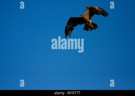 Swamp harrier (Circus approximans) hunting for prey at sunset - Stock Photo