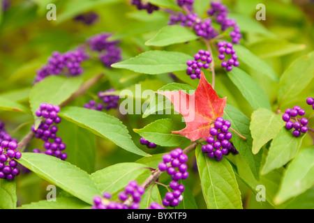 Beautyberry bush - Stock Photo