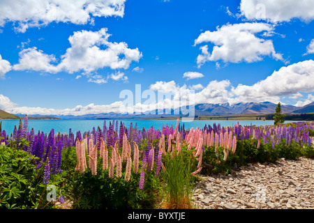 Lupin wildflowers on the shore of lake Tekapo in New Zealand - Stock Photo