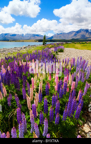 Lupin wildflowers on the shore of lake Tekapo in New Zealand - Stock Photo