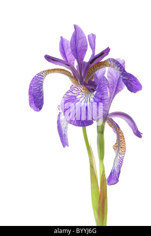 blue iris flower isolated against a white background - Stock Photo