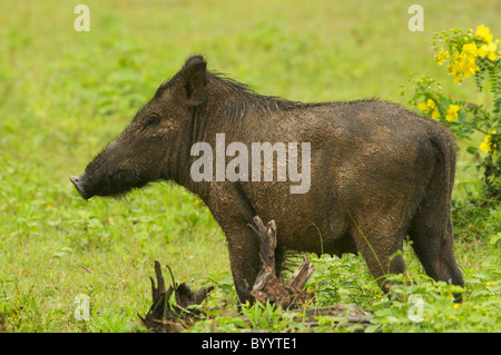 A wild boar in Yala National Park Sri Lanka - Stock Photo