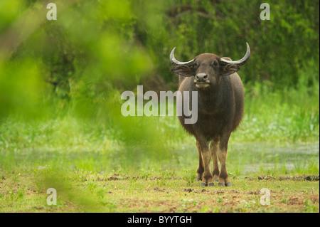 A wild buffalo in rain Yala National Park Sri Lanka - Stock Photo
