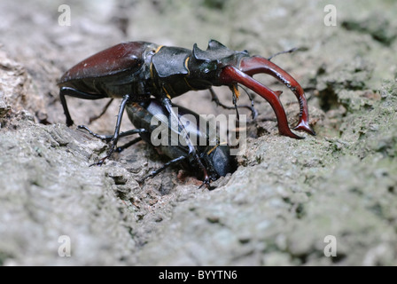 stag beetle Lucanus cervus at courtship display - Stock Photo