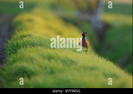 Fasan, Balz, Phasianus colchicus, Common Pheasant - Stock Photo