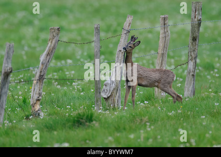 European roe deer [Capreolus capreolus], germany - Stock Photo