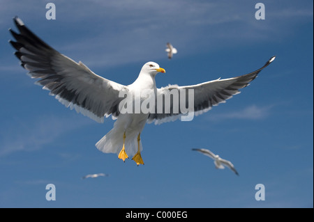 flying lesser black-backed gull [Larus fuscus] at the german baltic sea, ruegen island - Stock Photo