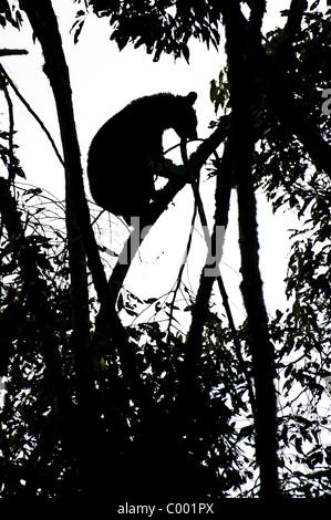 A silhouette of a rare spectacled bear, Ecuador. - Stock Photo