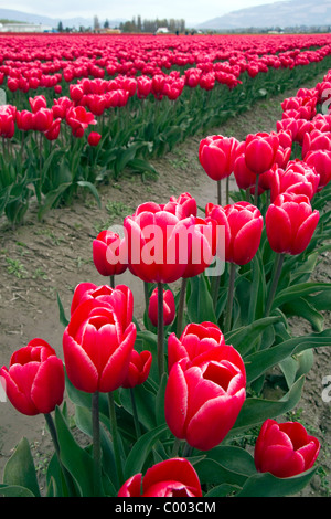 Show garden of spring-flowering tulip bulbs in Skagit Valley, Washington, USA. - Stock Photo