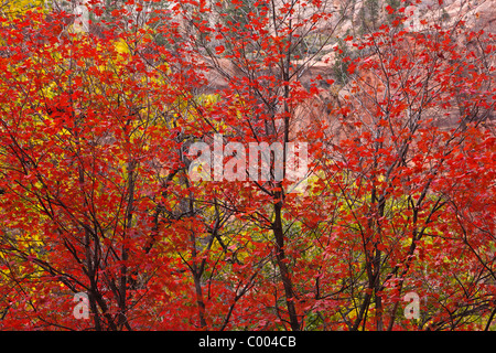 Big Tooth Maples in peak fall color in Zion Canyon, Zion National Park, Utah, USA. - Stock Photo