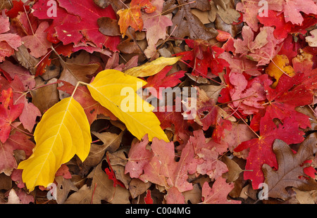 A fall palette of yellow Cottonwood and red Maple leaves in Zion National Park, Utah, USA. - Stock Photo