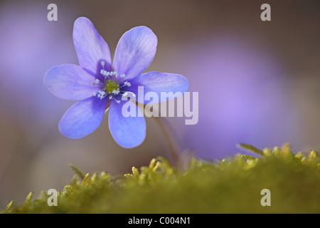 Dreilappiges Leberbluemchen, Hepatica nobilis, Liverwort, Obere Donau, Daube, Deutschland, Germany - Stock Photo