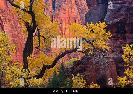 Cottonwood tree in peak fall color, Zion Canyon, Zion National Park, Utah, USA. - Stock Photo