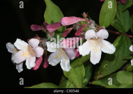 Kolkwitzia amabilis  Beauty Bush - Stock Photo