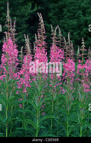 Stauden-Feuerkraut, Wald-Weidenroeschen, Epilobium angustifolium, Common Fireweed, Haines Road, Alaska, USA - Stock Photo