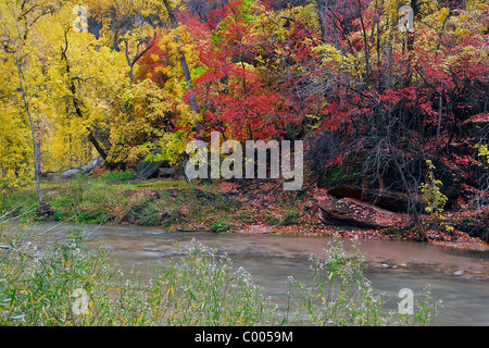 Cottonwoods and Big Tooth Maples in peak fall color along bank of Virgin River, Zion Canyon, Zion National Park, - Stock Photo