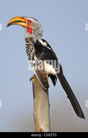 Southern Yellow-billed Hornbill (Tockus leucomelas) in Kruger National Park, South Africa. - Stock Photo