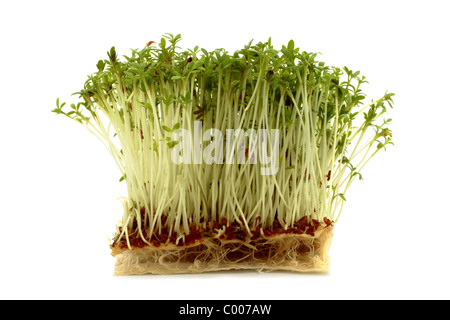Cress (Lepidium sativum) grown from seed on layers of kitchen roll paper. White background. - Stock Photo