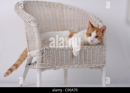 Hauskatze, dunkelrot-weiss, im Korbsessel, Felis silvestris forma catus, Domestic-cat, red-white, basket chair - Stock Photo