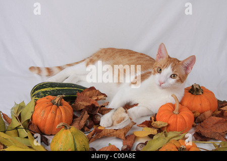 Hauskatze, dunkelrot-weiss, liegende, Felis silvestris forma catus, Domestic-cat, red-white, lying - Stock Photo