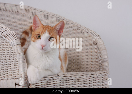 Hauskatze, Felis silvestris forma catus, Domestic-cat - Stock Photo