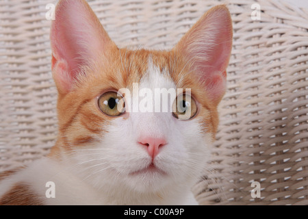 Hauskatze, Portrait, Felis silvestris forma catus, Domestic-cat - Stock Photo