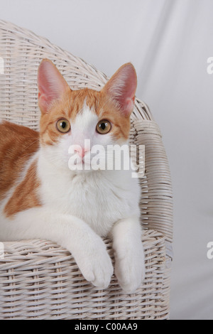 Hauskatze, dunkelrot-weiss, Felis silvestris forma catus, Domestic-cats, red-white - Stock Photo