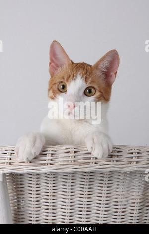 Hauskatze, schaut interessiert, Detailaufnahme, Felis silvestris forma catus, Domestic-cats, looks interestedly - Stock Photo