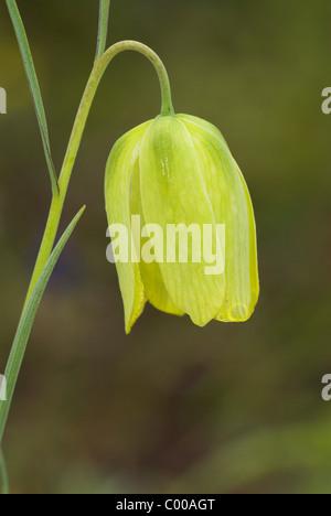 Messiana-Schachblume, gelbe, Fritillaria messanensis, Checkered daffodil, yellow - Stock Photo