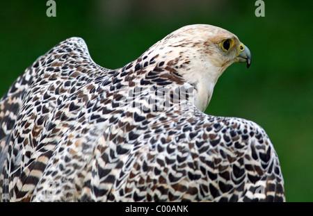Gyrfalcon or Gyr Falcon (Falco rusticolus) - Stock Photo
