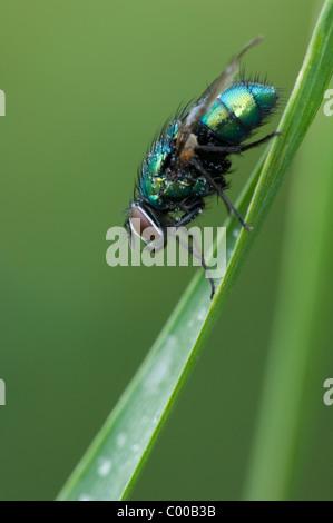 Goldfliege, Lucilia sericata, Green bottle fly - Stock Photo