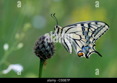 Schwalbenschwanz, Papilio machaon, Common Yellow Swallowtail - Stock Photo
