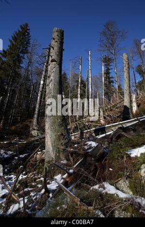 Bergfichten abgestorbene, Picea abies, Pine Tree, NP Bayerischer Wald, Bayern, Bavaria, Deutschland, Germany - Stock Photo