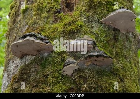 Baumpilze an eine abgestorbenen Bergfichte, Urwaldgebiet Mittelsteighuette, Nationalpark Bayerischer Wald, Deutschland, - Stock Photo