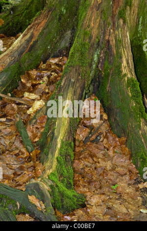 primeval german forest roots - Stock Photo